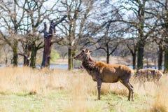 Rotwild im Frühjahr in Richmond-Park lizenzfreie stockfotos