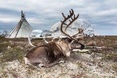 Rotwild im Geschirr am Lager Nenets lizenzfreies stockfoto