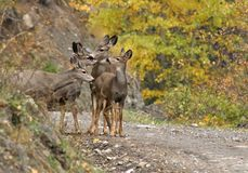 Rotwild im Herbst lizenzfreie stockfotografie