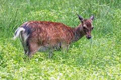 Rotwild im hohen Gras Stockfotos