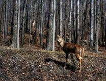 Rotwild im Holz Stockfotos