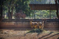 Rotwild im Käfig des Bauernhofes an im Freien Stockfotografie