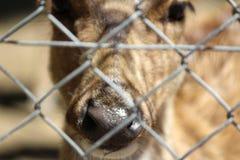 Rotwild im Käfig, Tier, wild lebende Tiere Stockbilder