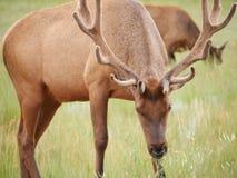 Rotwild im Nationalpark Lizenzfreies Stockfoto