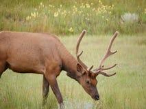 Rotwild im Nationalpark Stockfotos