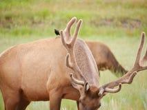 Rotwild im Nationalpark Lizenzfreies Stockbild