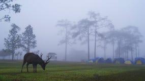 Rotwild im Nebel Stockfotos