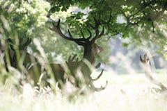 Rotwild im Richmond-Park Stockfotos
