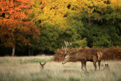 Rotwild im Richmond-Park Stockfotografie