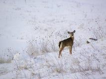 Rotwild im Schnee Stockfotografie