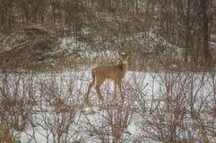Rotwild im Schnee Stockbild