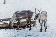Rotwild im Schnee lizenzfreie stockfotografie