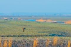 Rotwild im Sumpfgebiet entlang einem Teich im Sonnenlicht lizenzfreie stockbilder