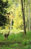 Rotwild im Wald Lizenzfreies Stockfoto