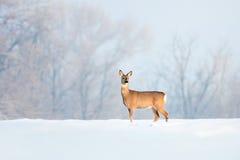 Rotwild im Winter an einem sonnigen Tag. Stockfotografie