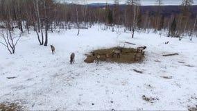 Rotwild im Winter, Luftschuß stock footage