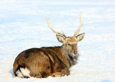 Rotwild im Winterwald in seinem natürlichen Lebensraum Lizenzfreies Stockbild