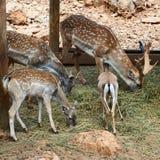 Rotwild im Zoo Stockfotos