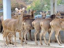 Rotwild im Zoo Stockfotografie