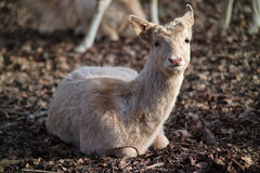 Rotwild im Zoo lizenzfreie stockfotos