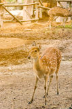 Rotwild im Zoo Stockbild