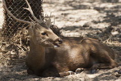 Rotwild im Zoo lizenzfreies stockfoto