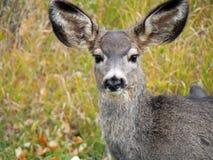 Rotwild mit den enormen Ohren Stockbilder