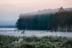 Rotwild mit seiner Herde auf nebeligem Feld in Weißrussland Stockfotografie