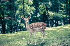Rotwild mit weißen Stellen im grünen Wald lizenzfreie stockfotografie