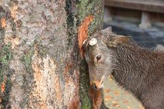 Rotwild in Nara, Japan, am Fall stockfotos