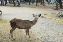 Rotwild in Nara, Japan, am Fall lizenzfreies stockbild