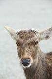Rotwild an Nara-Provinz Japan Lizenzfreie Stockfotos