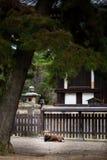 Rotwild an Nara-Provinz Japan Lizenzfreie Stockfotografie