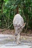 Rotwild am Nationalpark Thailand Lizenzfreie Stockfotos