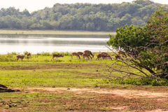 Rotwild oder Achse Chital lassen in Yala weiden Lizenzfreie Stockfotografie