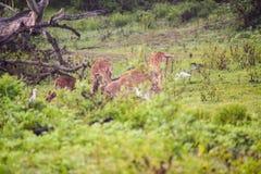 Rotwild oder Achse Chital lassen in Yala weiden Lizenzfreies Stockbild