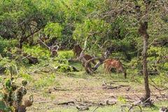 Rotwild oder Achse Chital lassen in Yala weiden Stockfotos