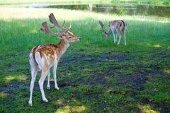 Rotwild am Park Lizenzfreies Stockfoto