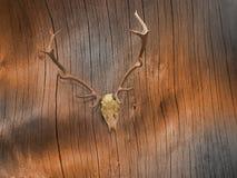 Rotwild-Schädel auf Vare-Baumrinde Stockfoto