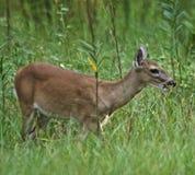 Rotwild schmeicheln sich im hohen Gras ein stockfoto