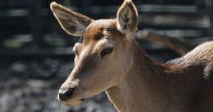 Rotwild schmeicheln sich im wilden Wald ein stock footage