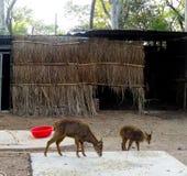 Rotwild sind die Hufwiederkäuersäugetiere, die den Familie Cervidae bilden stockfoto