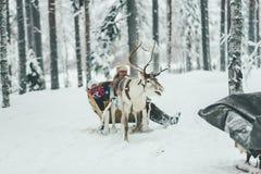 Rotwild spannen in Winter Finnlands Lappland vor lizenzfreies stockbild