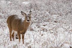 Rotwild und Schnee Stockfoto