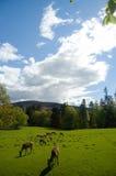 Rotwild und schottische Landschaft Lizenzfreies Stockfoto