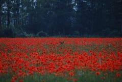 Rotwild verstecken sich auf dem Mohnblumegebiet Lizenzfreie Stockbilder