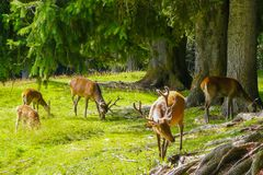 Rotwild von italienischen Alpen in der Natur stockfoto