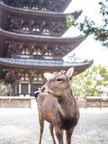 Rotwild von Nara stockfotos