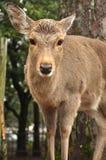 Rotwild von Nara Park Stockfotos