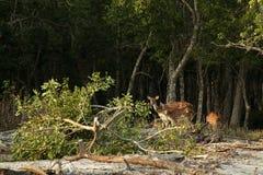 Rotwild von Sundarban stockfotos